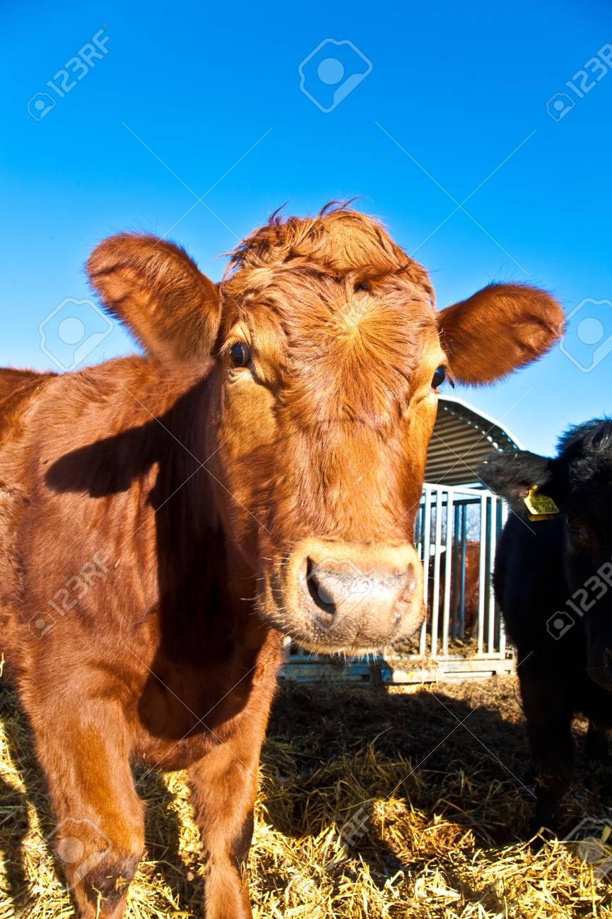 friendly cattle on straw with blue sky Stock Photo - 9304821