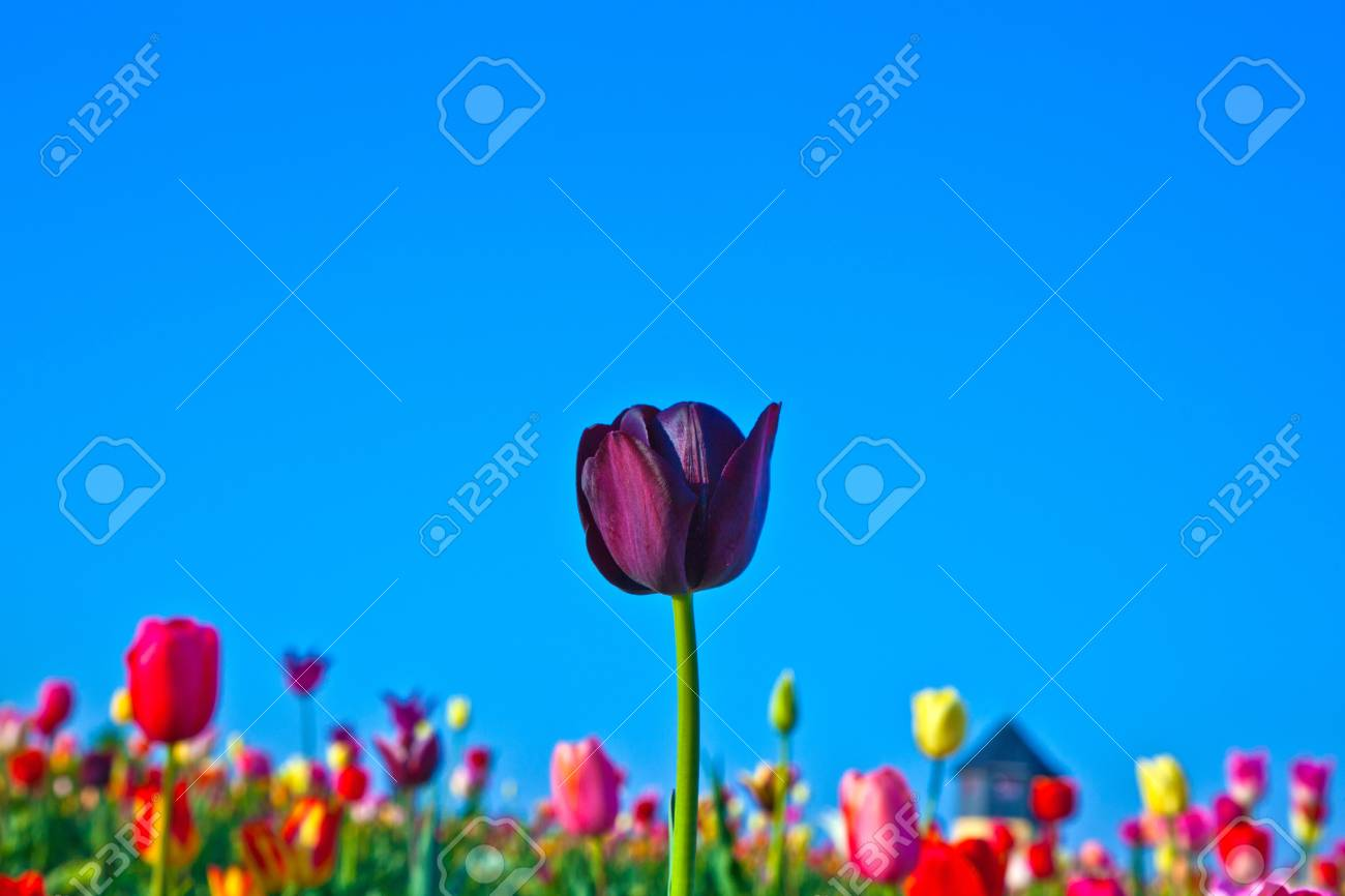 Spring field with blooming colorful tulips Stock Photo - 9374922