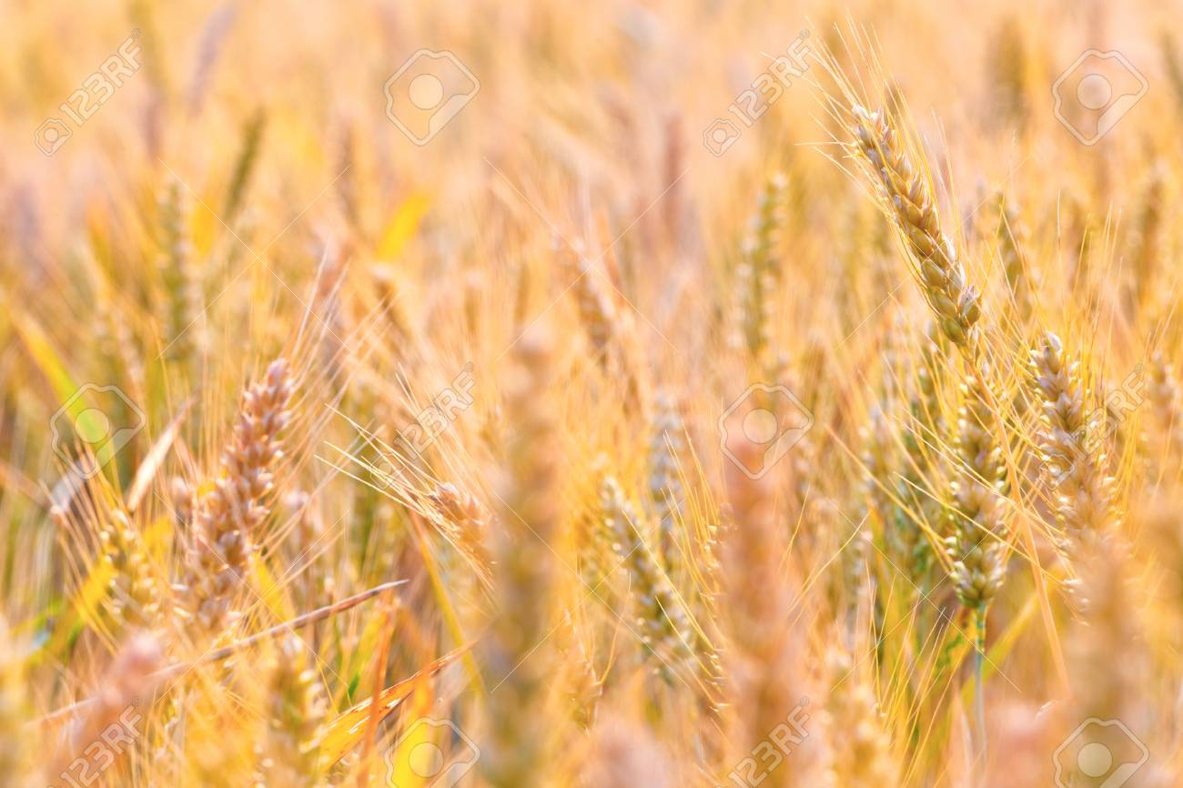 corn field in detail Stock Photo - 10695022