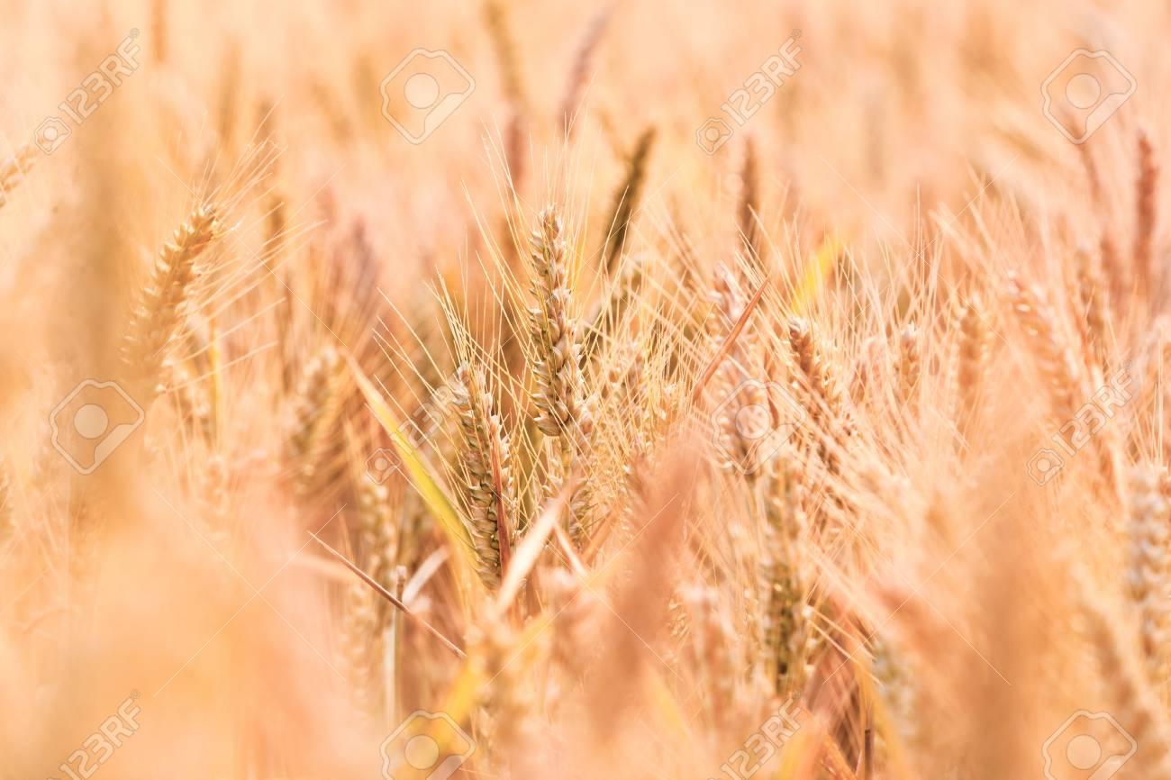golden corn field in detail Stock Photo - 10668829