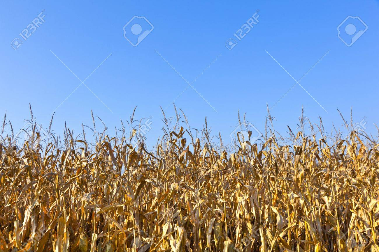natural full frame background with withered corn plants Stock Photo - 11972166
