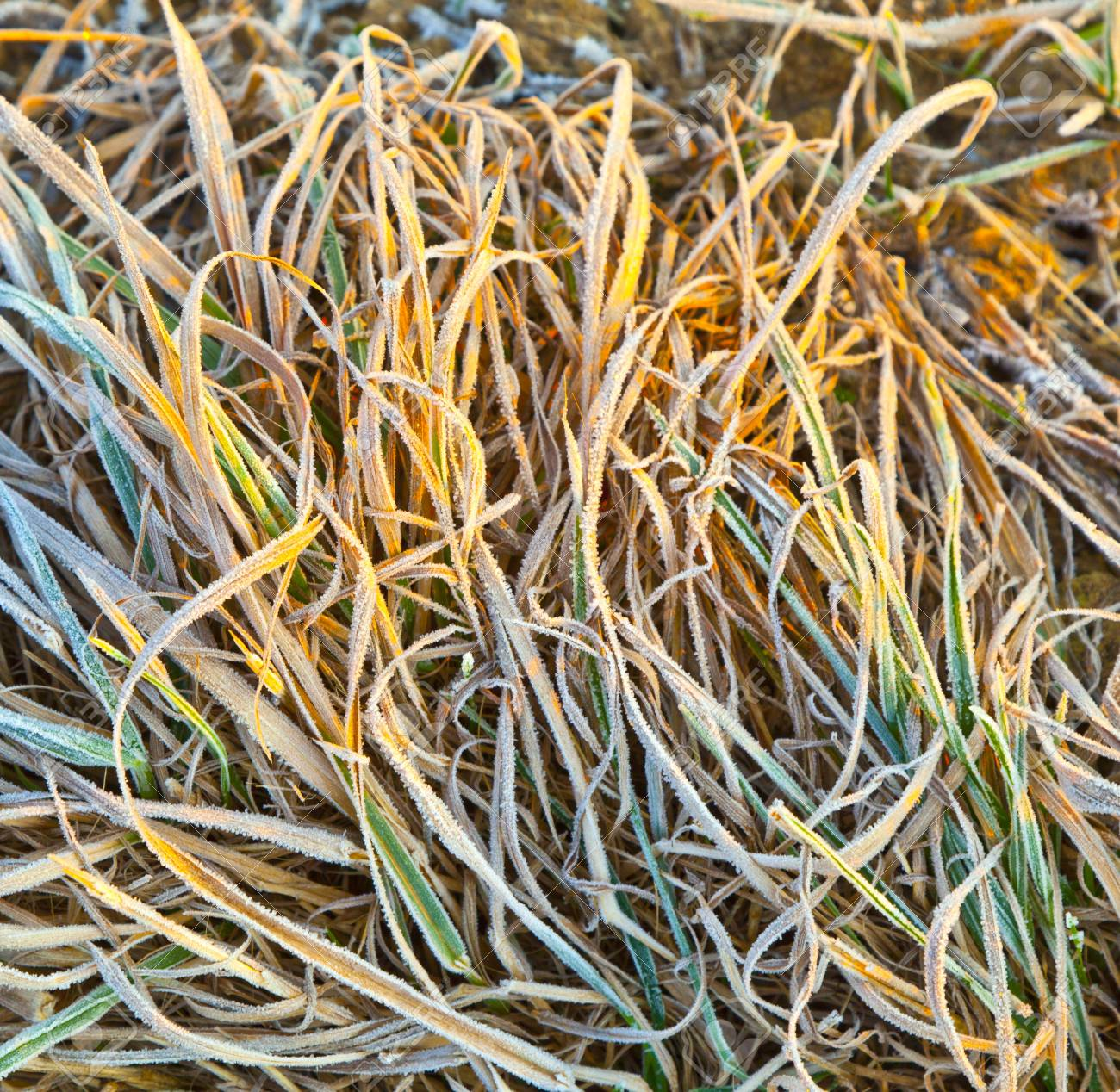 frozen grass at the meadow in Winter Stock Photo - 12065518