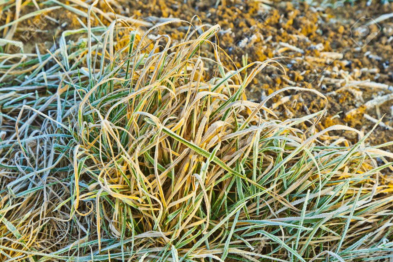 frozen grass at the meadow in Winter Stock Photo - 12065667