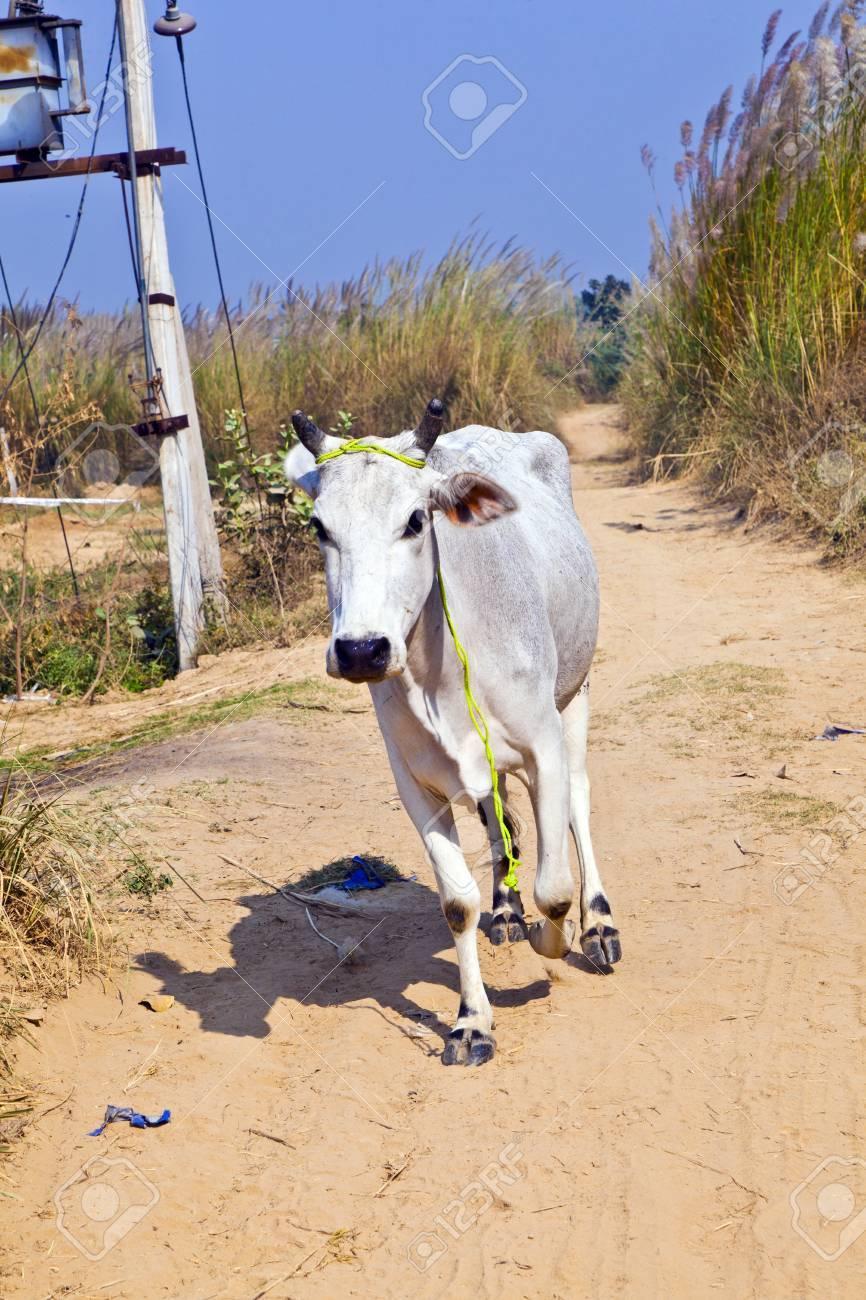 cow walking along a trail in open area Stock Photo - 12065530