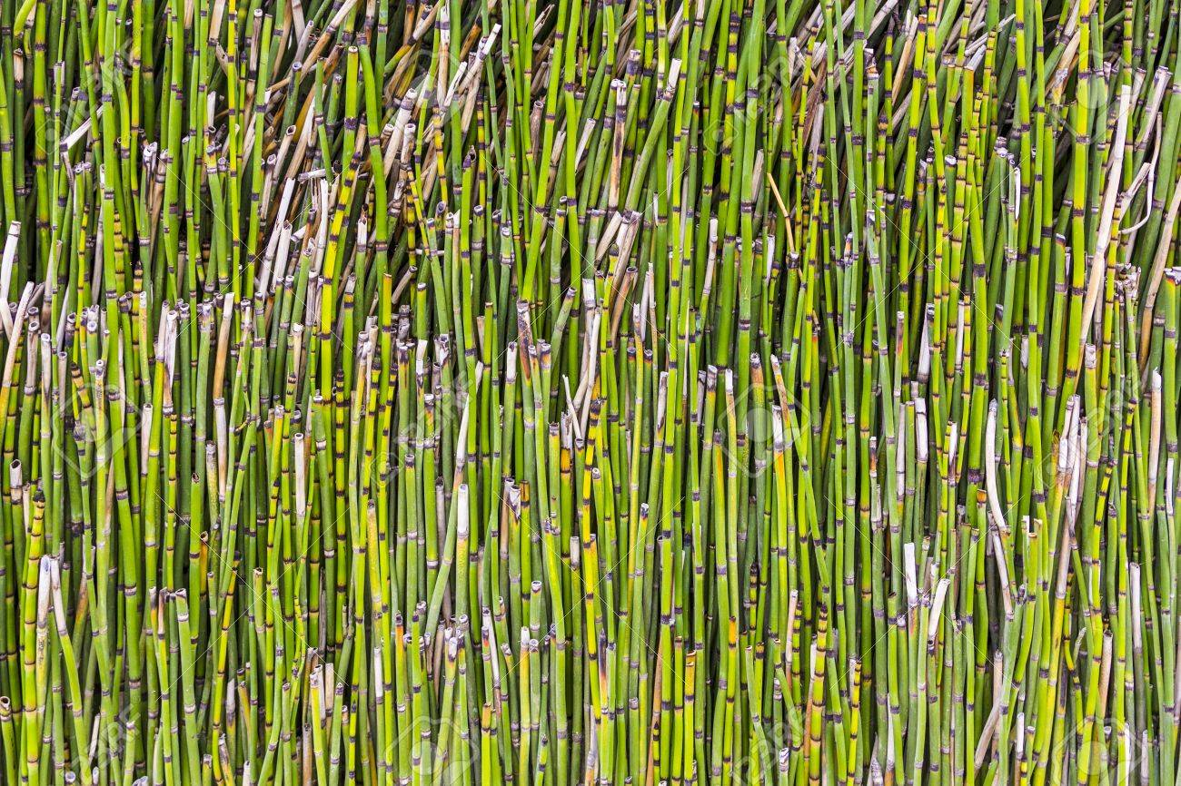Pattern Of Small Bamboo Plant Stock Photo Picture And Royalty