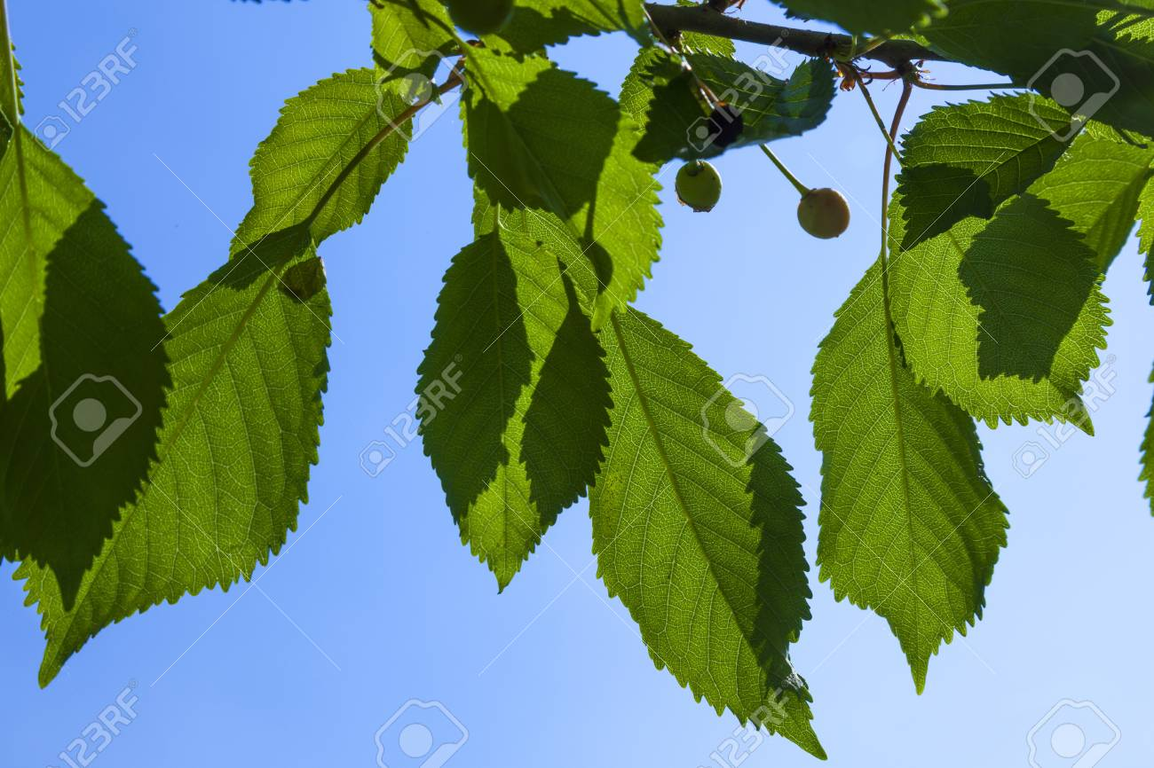 Leaves Of A Cherry Tree With Blue Sky Stock Photo Picture And