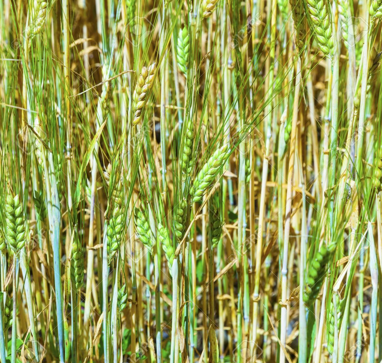 pattern of green fresh corn field Stock Photo - 16123631