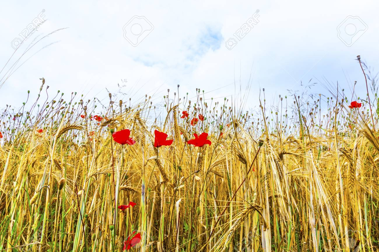 Poppy flowers with ble sky and clouds on the meadow Stock Photo - 16791638