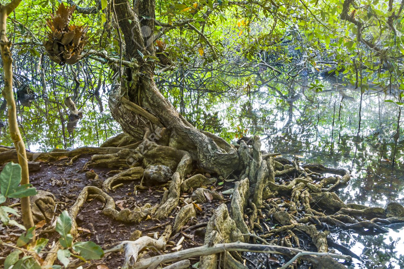 Beautiful old trees in the swamp area in Koh Chang - 34522592