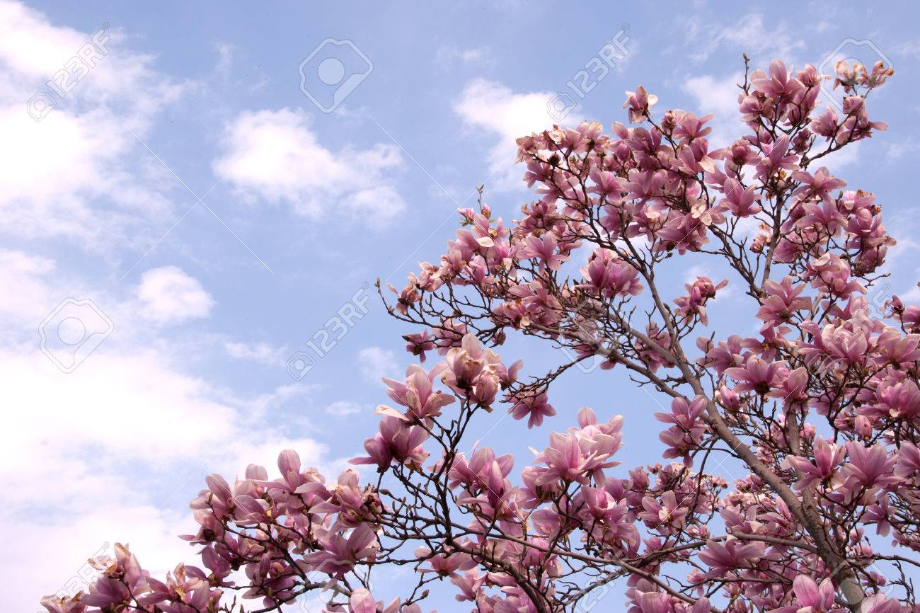 Photo Of A Red Magnolia Tree And Flowers Stock Photo Picture And