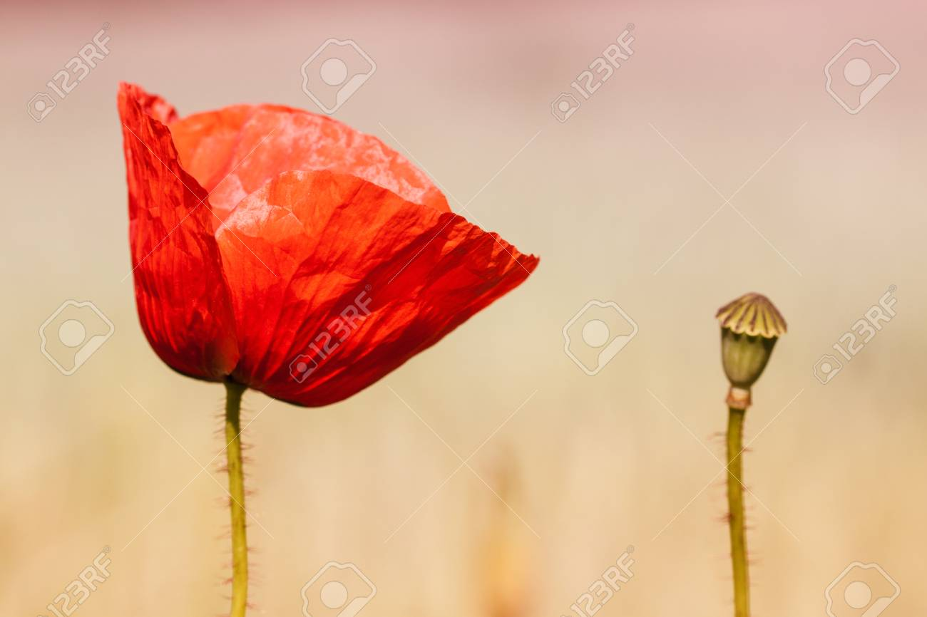 field poppy on on blured background Stock Photo - 23338351