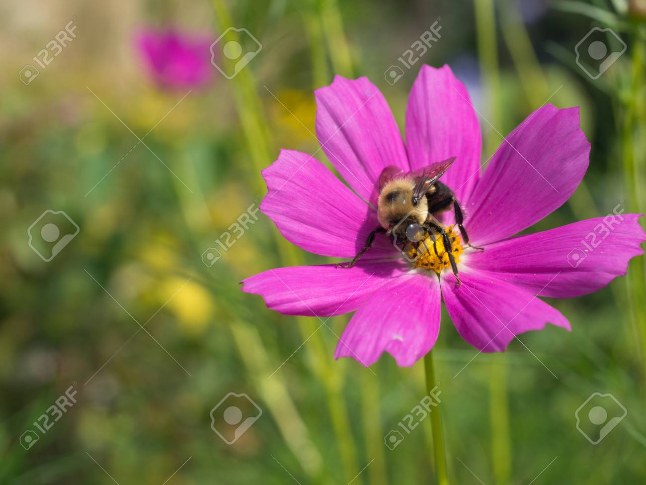 Pink cosmo flower with bumble bee at wave hill garden stock photo pink cosmo flower with bumble bee at wave hill garden stock photo 97151343 mightylinksfo