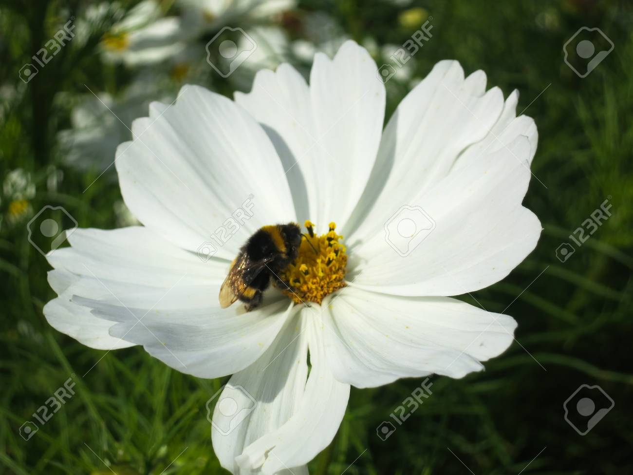 White cosmo flower with bumble bee in france stock photo picture stock photo white cosmo flower with bumble bee in france mightylinksfo
