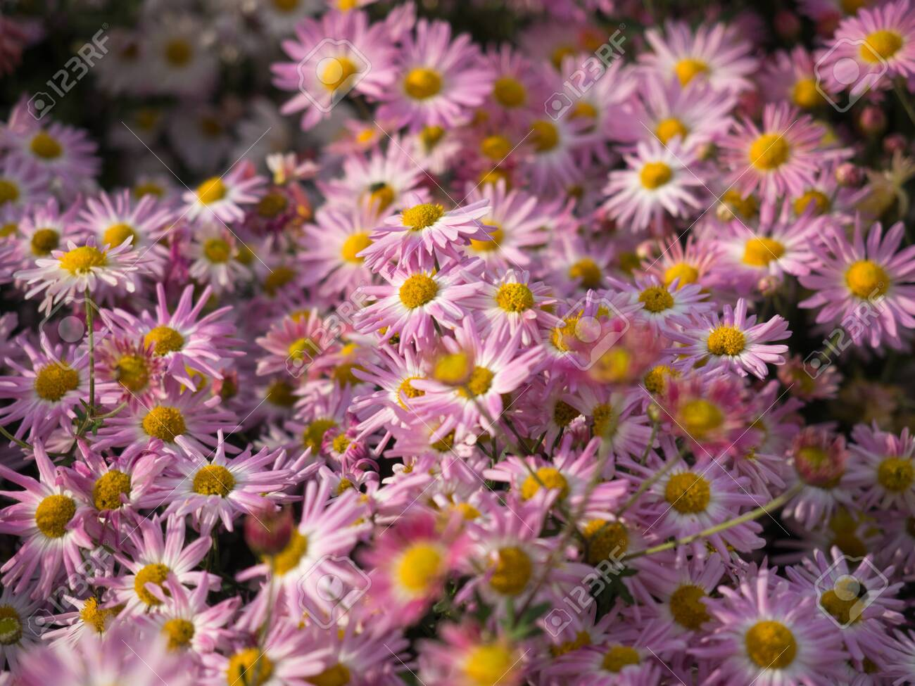 Butterfly In A Garden Of Pale Pink Chrysanthemums Flowers Stock