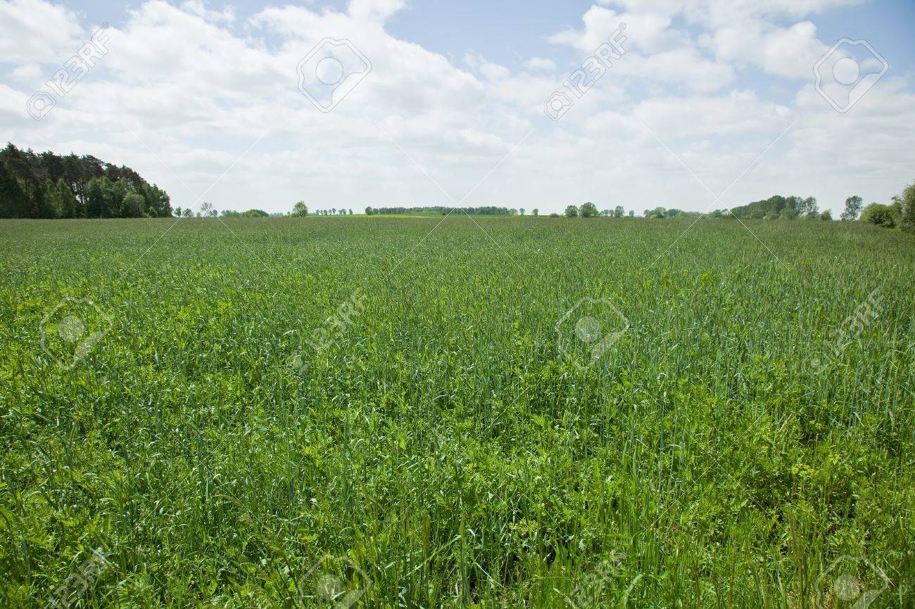 Rye (Secale cereale) is a grass grown extensively as a grain and as a forage crop. It is a member of the wheat tribe (Triticeae) and is closely related to barley and wheat. Stock Photo - 7944442