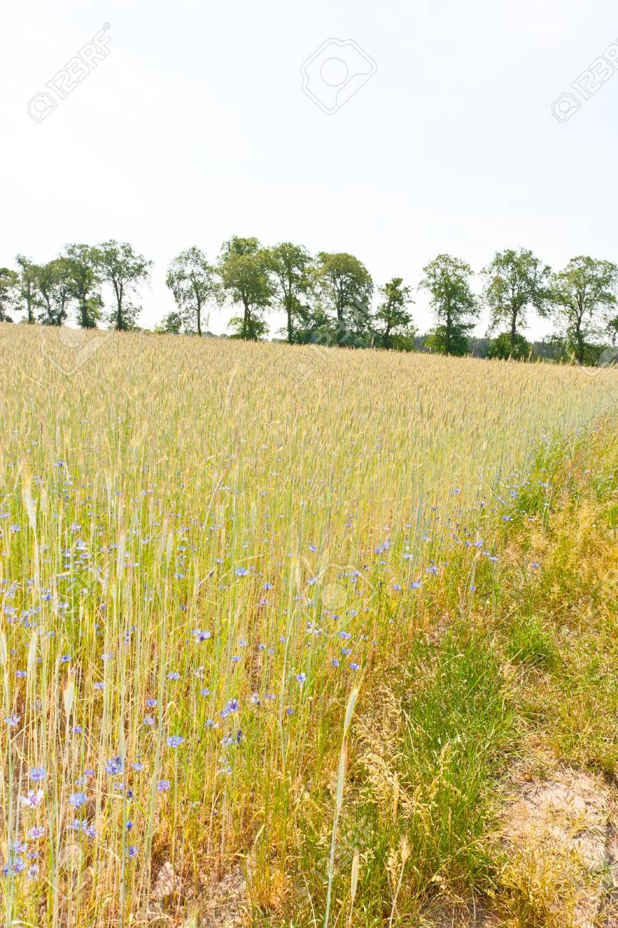 Rye (Secale cereale) is a grass grown extensively as a grain and as a forage crop. It is a member of the wheat tribe (Triticeae) and is closely related to barley and wheat. Stock Photo - 13856332