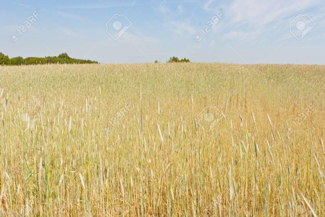 Пшеница ячмень в России