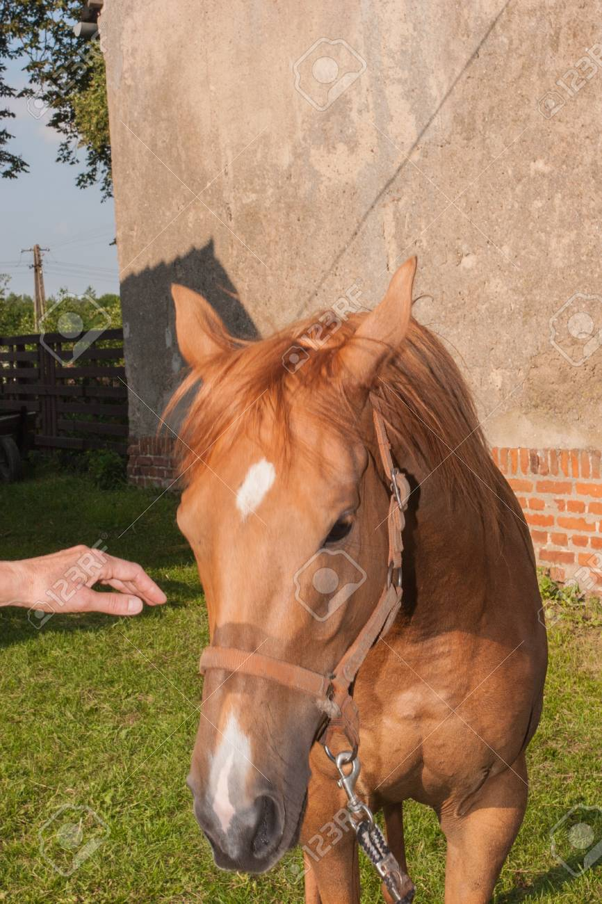 Chestnut Is A Hair Coat Color Of Horses Consisting Of A Reddish To