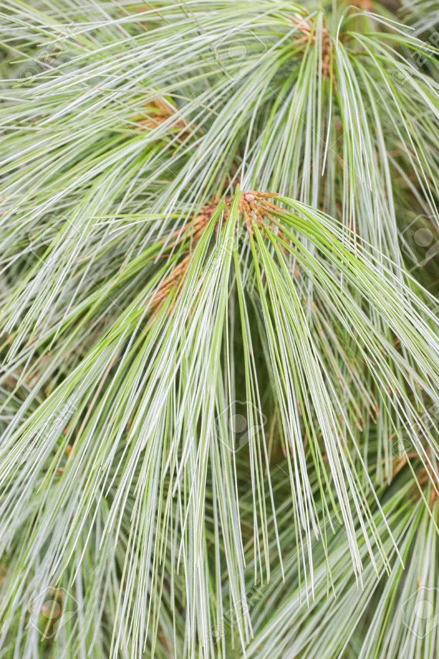 grand Pinus grosses queues et chatte humide