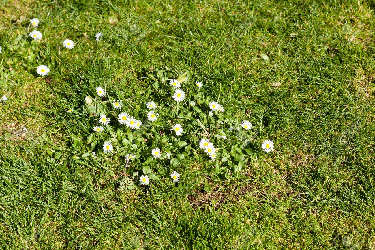 Little White Spring Flowers On Green Lawn Stock Photo Picture And