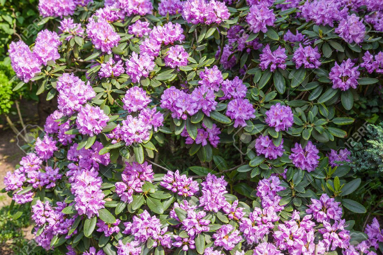 Attractive Broadleaf Evergreen Shrub With Lavender Flowers In