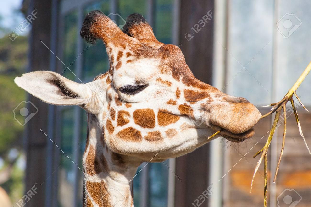 Reticulated giraffe (Giraffa camelopardalis reticulata) is a subspecies of giraffe native to Somalia, southern Ethiopia, and northern Kenya. Stock Photo - 26616383