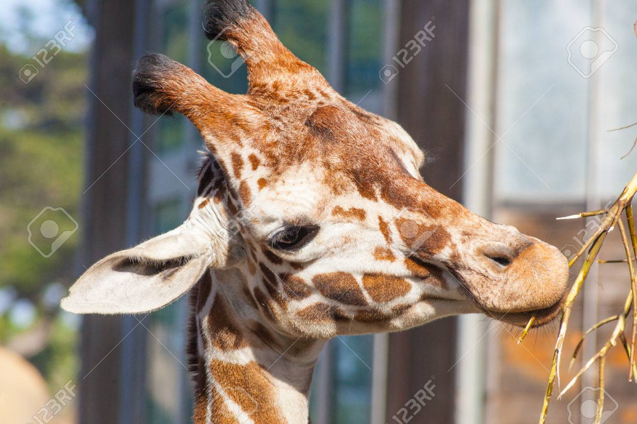 Reticulated giraffe (Giraffa camelopardalis reticulata) is a subspecies of giraffe native to Somalia, southern Ethiopia, and northern Kenya. Stock Photo - 27412771