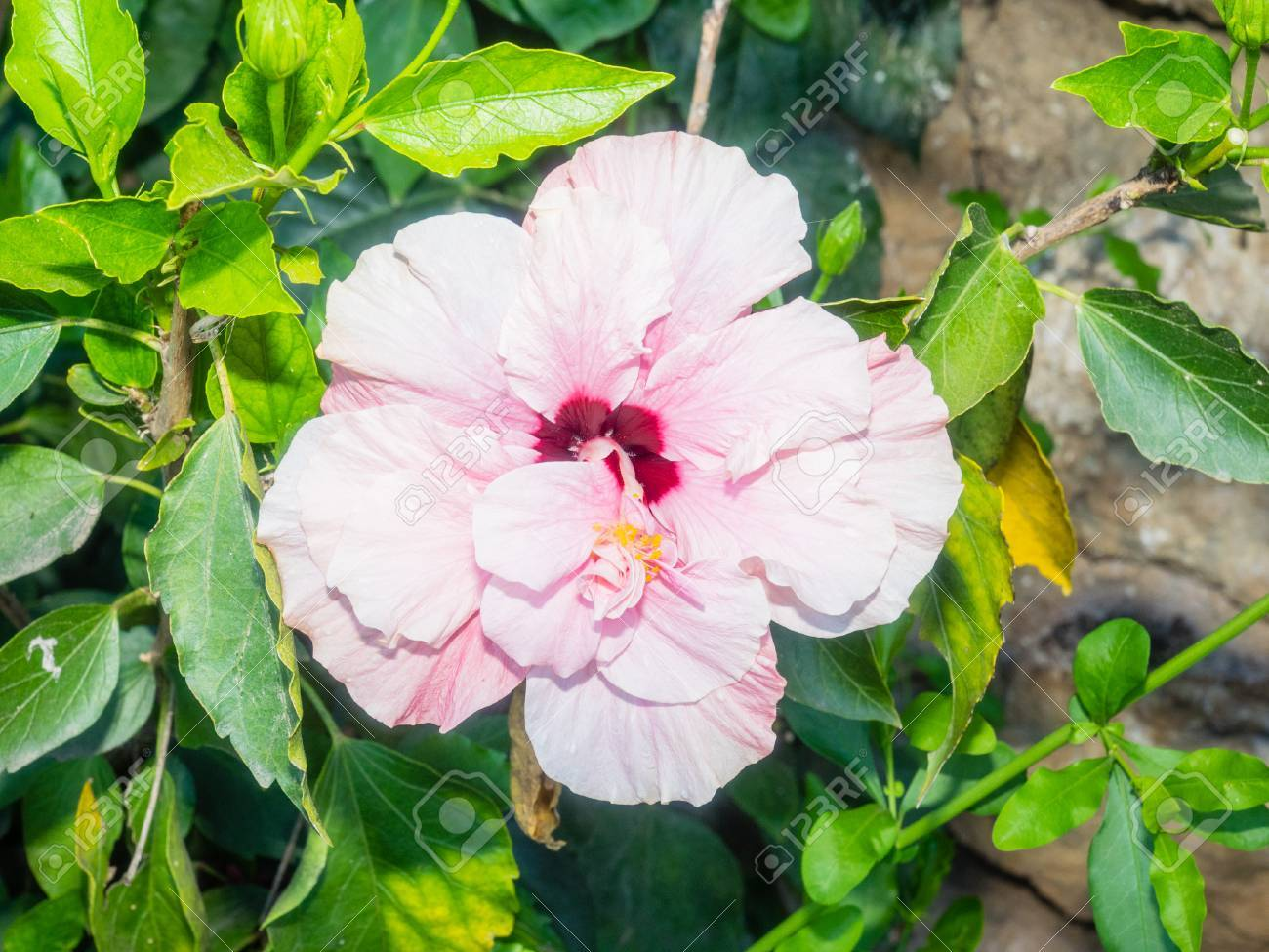 Rose Of Sharon Hibiscus Syriacus Is A Species Of Flowering Stock