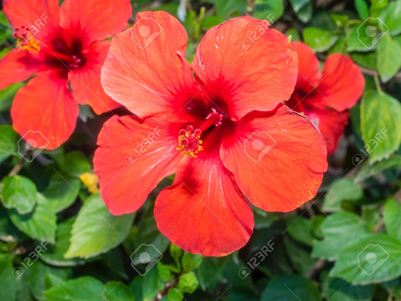 Rose Mallow Hibiscus Rosa Sinensis Is A Species Of Flowering