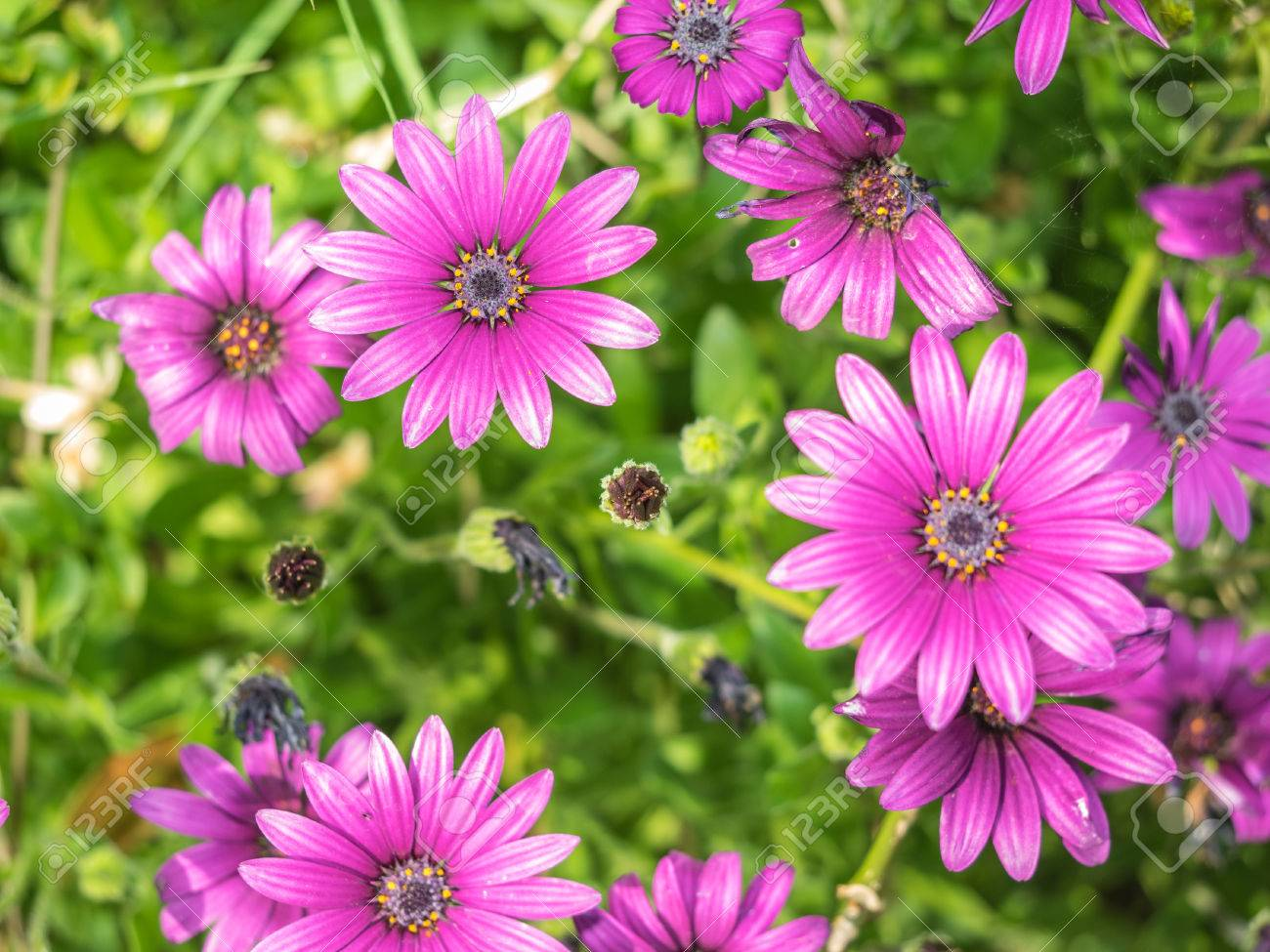 Purple South African Daisy Osteospermum X Daisy Like Composite