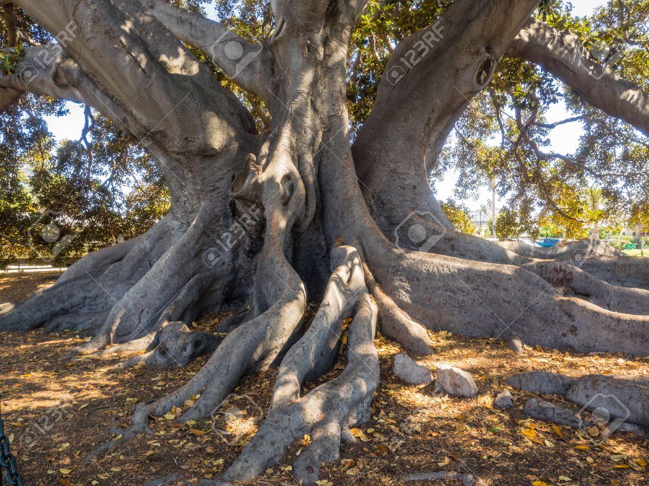Moreton Bay Fig Tree Located ...