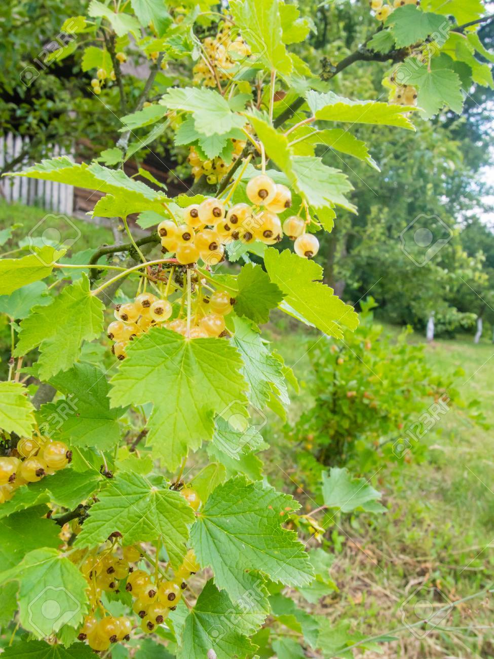 White Currant Whitecurrant Is A Sport Of The Red Currant Ribes