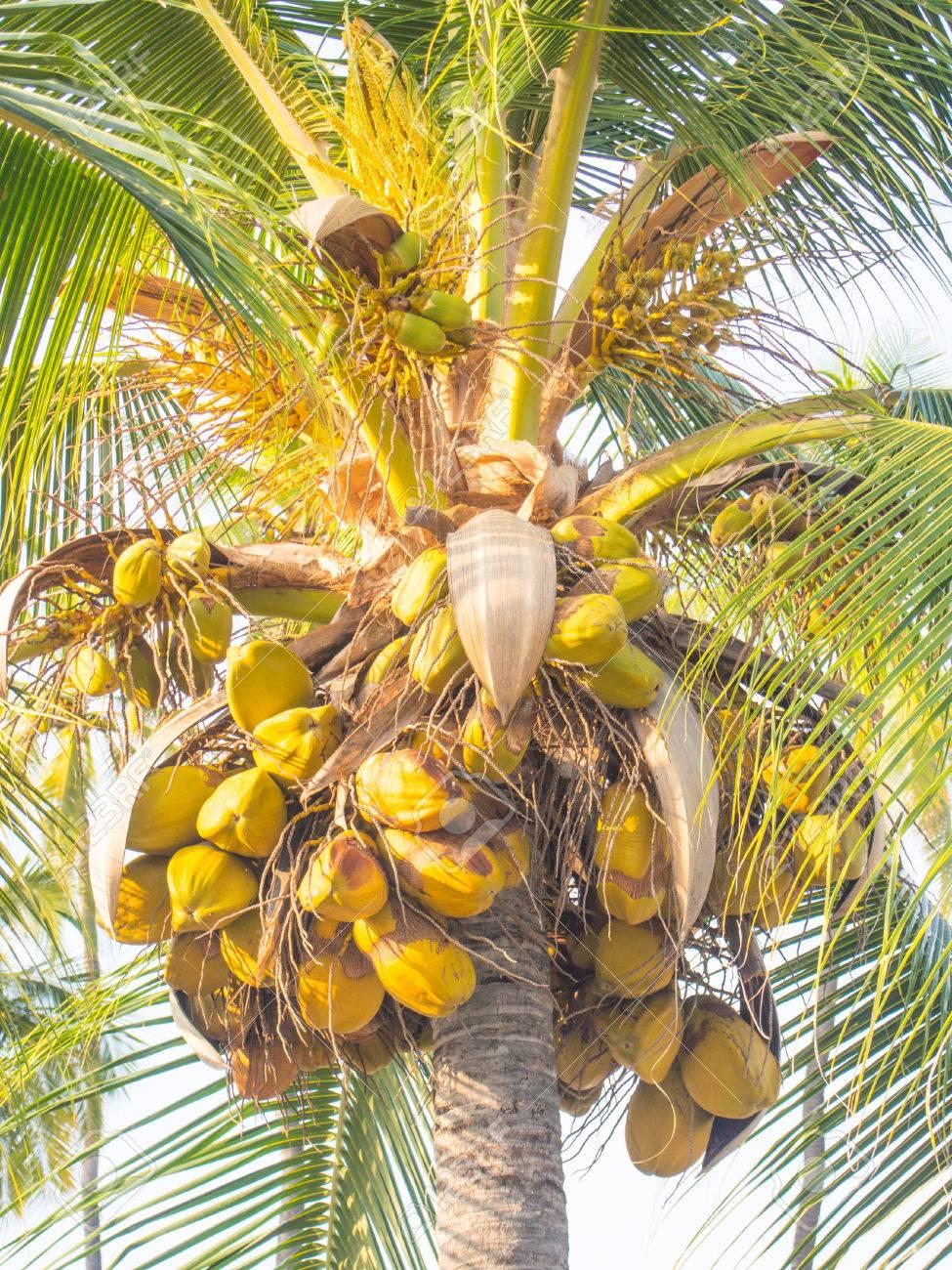 Große Cocos