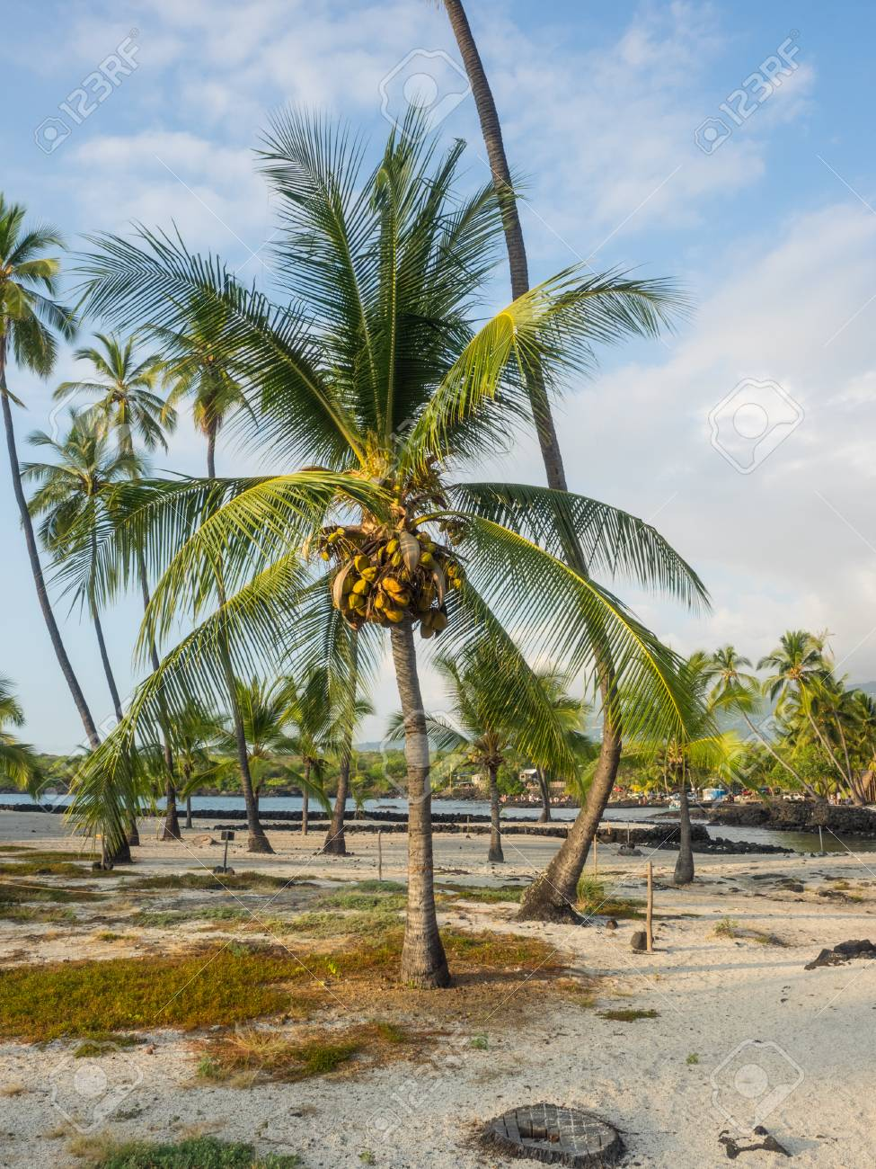 Coconut Palm (Cocos Nucifera) Is A Large Palm With Pinnate Leaves ...