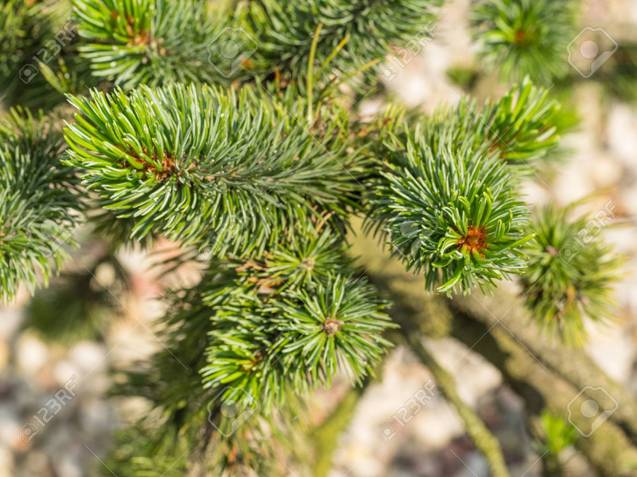 Norway Spruce Picea Abies Is A Species Of Spruce Native To