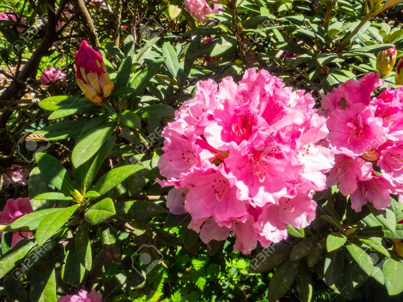 Rhododendron Is A Genus Of 1 024 Species Of Woody Plants In The