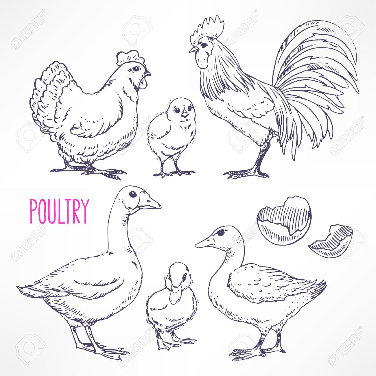 Set with various poultry. chicken, rooster, duck. hand-drawn illustration - 40207993