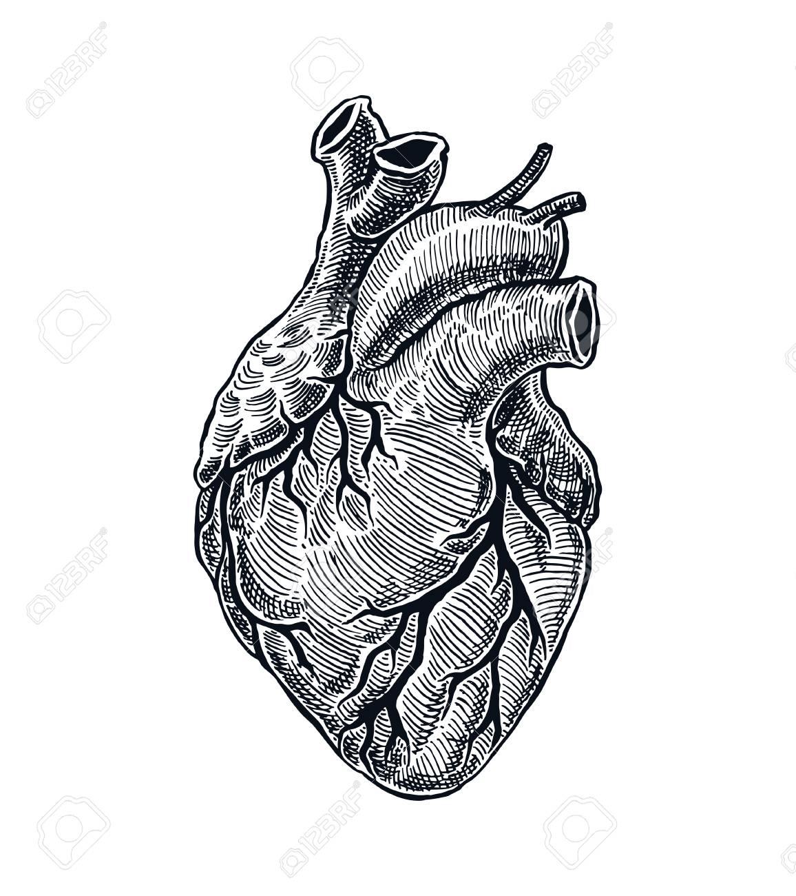 Realistic Human Heart. Vintage style. Hand Drawn illustration - 91026665