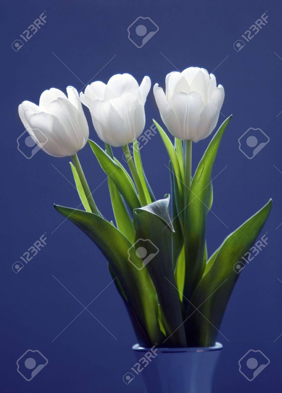 Beautiful white tulips on blue background Stock Photo - 6565315