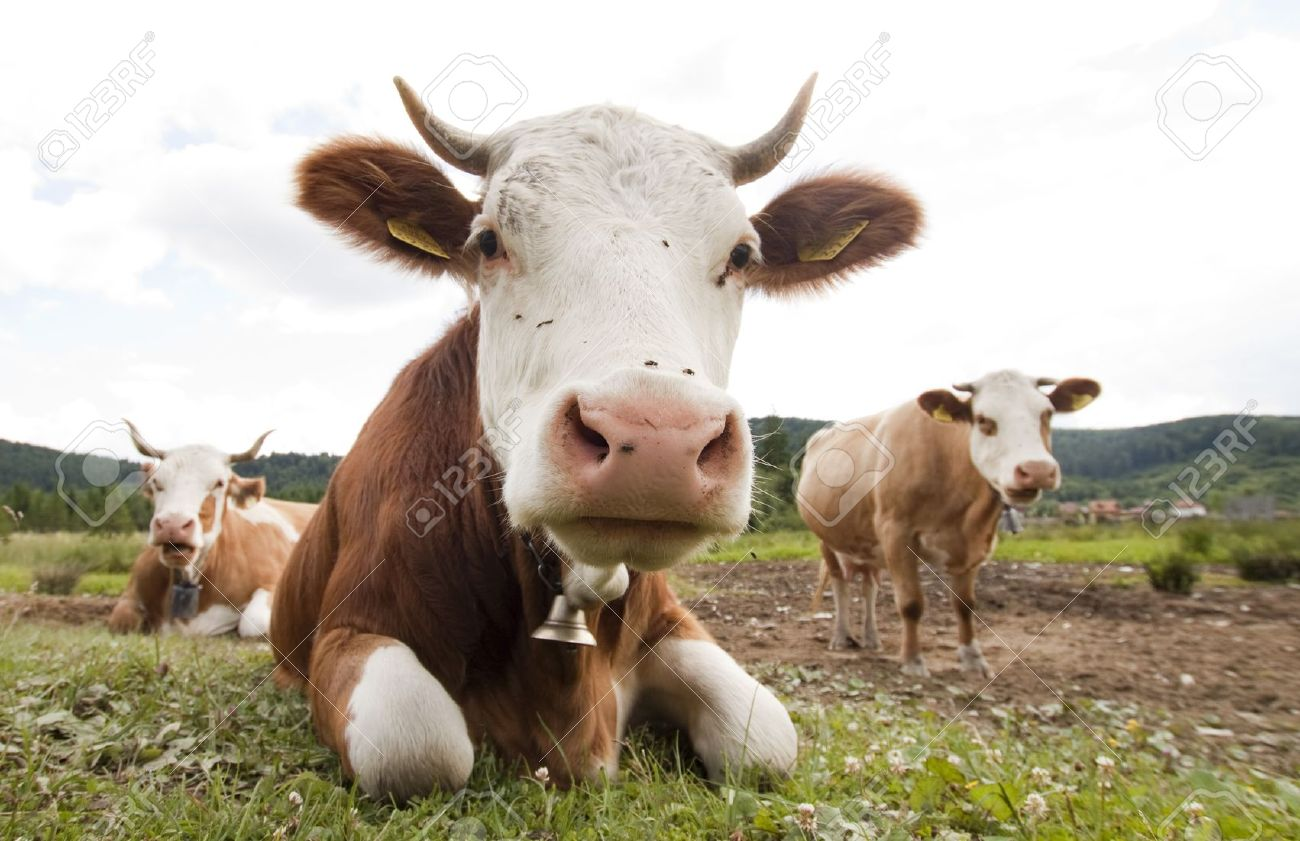 funny cow stock photo picture and royalty free image image 7625209