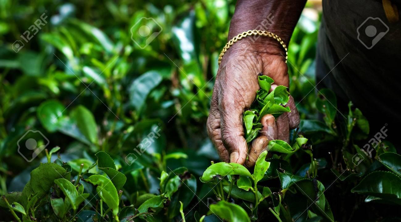 Tea picker woman's hands - close up - 37806676