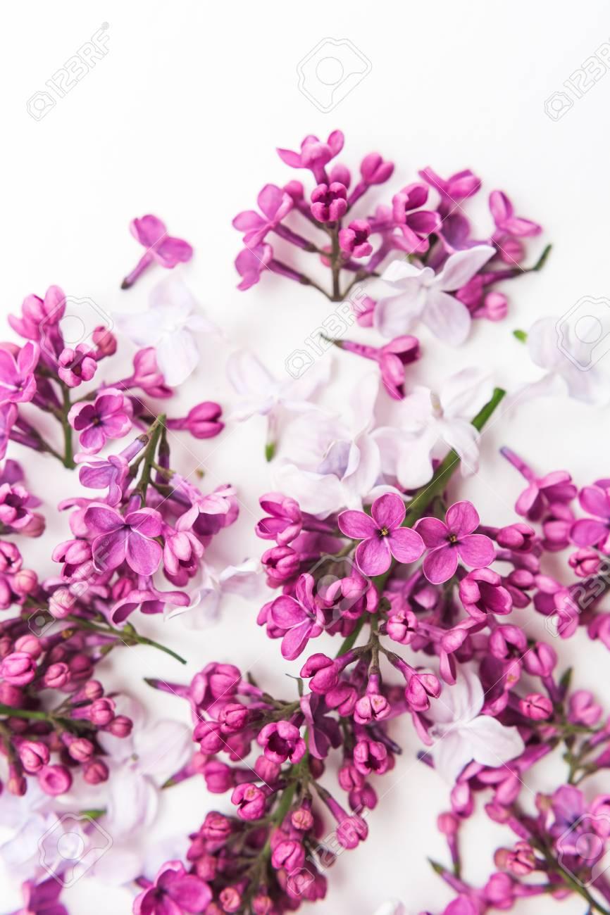 Floraison Mauve Printemps Fleurs Lilas Sur Fond Blanc Plat Poser