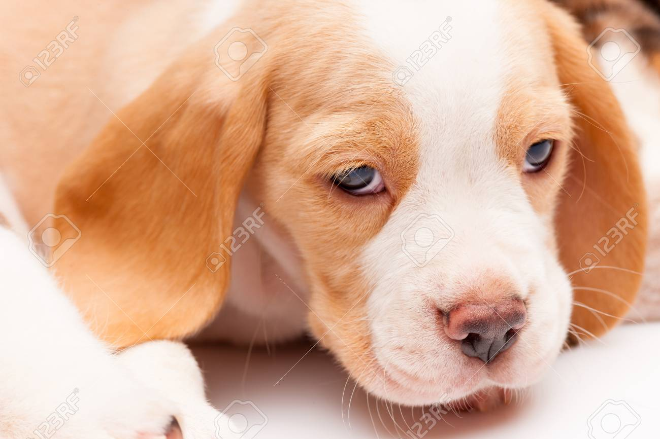 The Head Of Red Beagle Puppy On The White Background Stock Photo Picture And Royalty Free Image Image 50633819