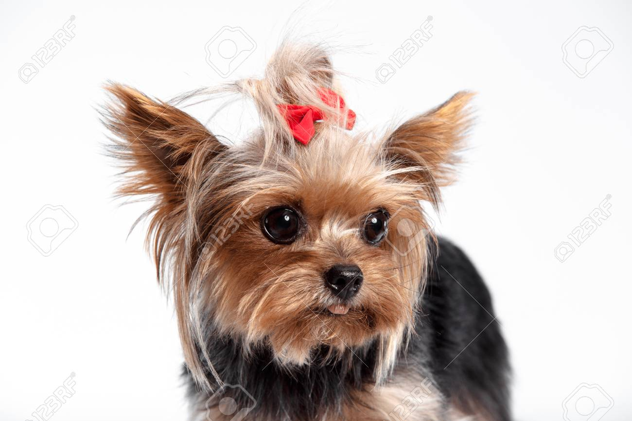 Yorkshire Terrier Mini A Head Shot Against A White Studio Stock