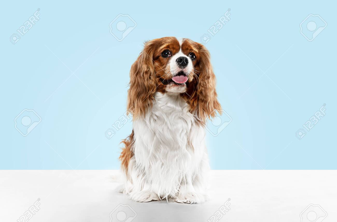 Spaniel puppy playing in studio. Cute doggy or pet is sitting isolated on blue background. The Cavalier King Charles. Negative space to insert your text or image. Concept of movement, animal rights. - 121835424