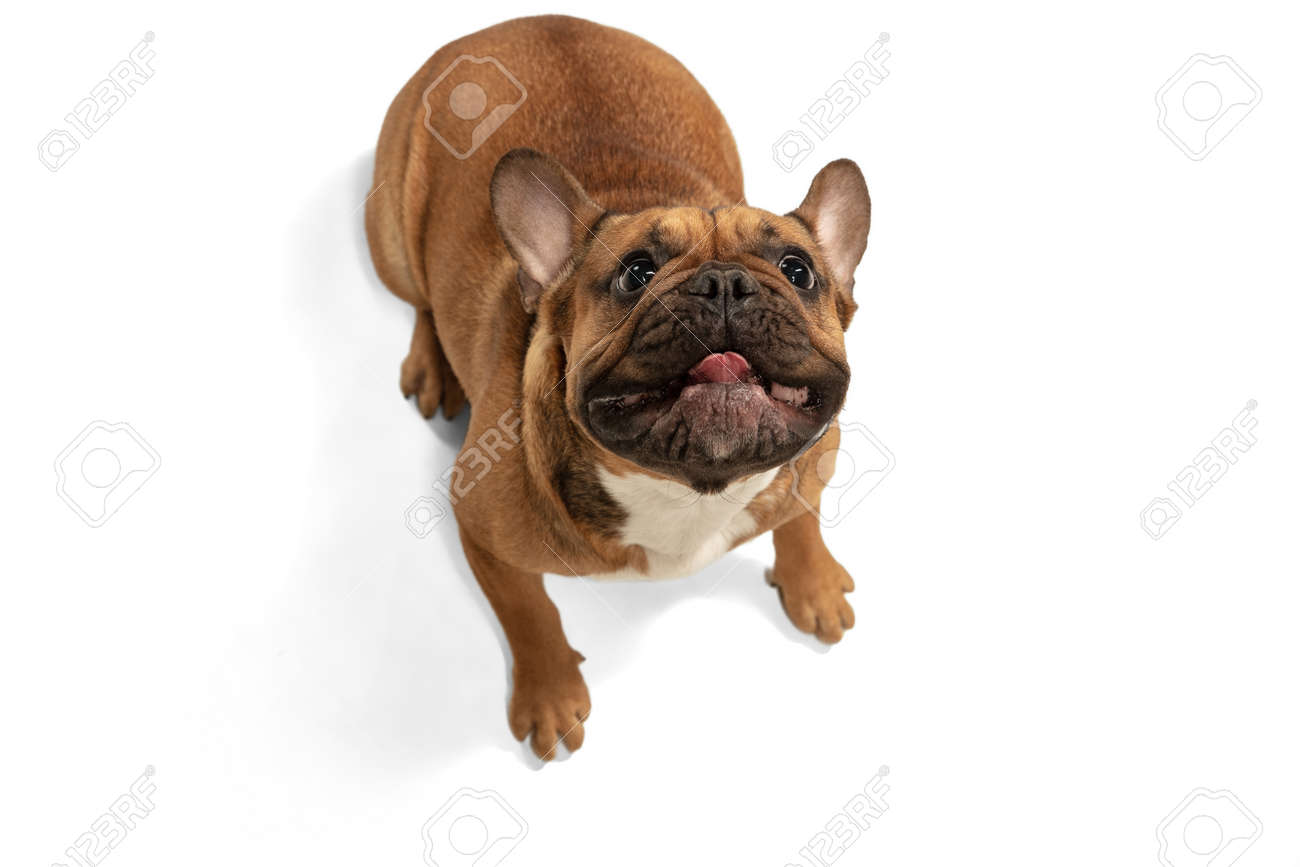 Young brown French Bulldog playing isolated on white studio background - 166742481