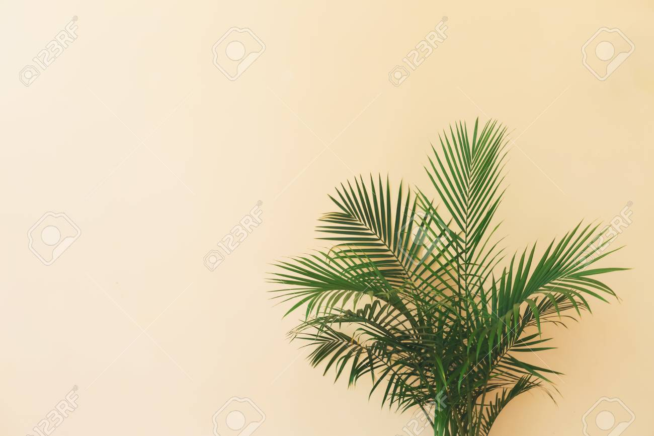 Large Indoor Palm Plant In A Pale Yellow Room Stock Photo, Picture on indoor foliage plants, indoor houseplants, home depot plants, types of indoor plants, indoor fruit plants, indoor blackberry plants, indoor ponytail palm, indoor palm trees, indoor palms low light, dracaena like plants, indoor potted palms, indoor tree plants, low light indoor plants, large indoor plants, indoor corn plant, tall indoor plants, indoor yucca plant, best indoor plants, indoor palm bushes, kentia palms plants,