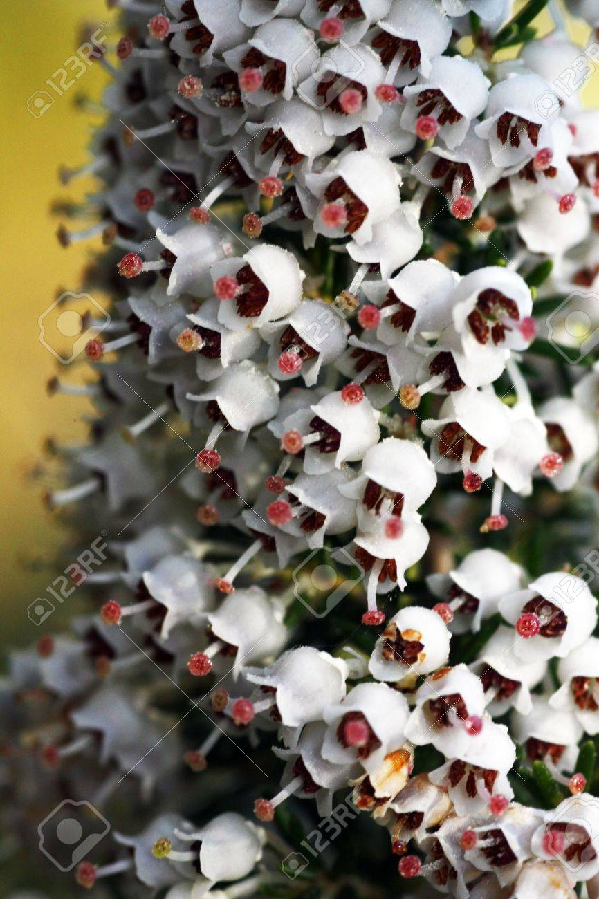 Close View Of Little White Bell Flowers Called Erica Or Heather