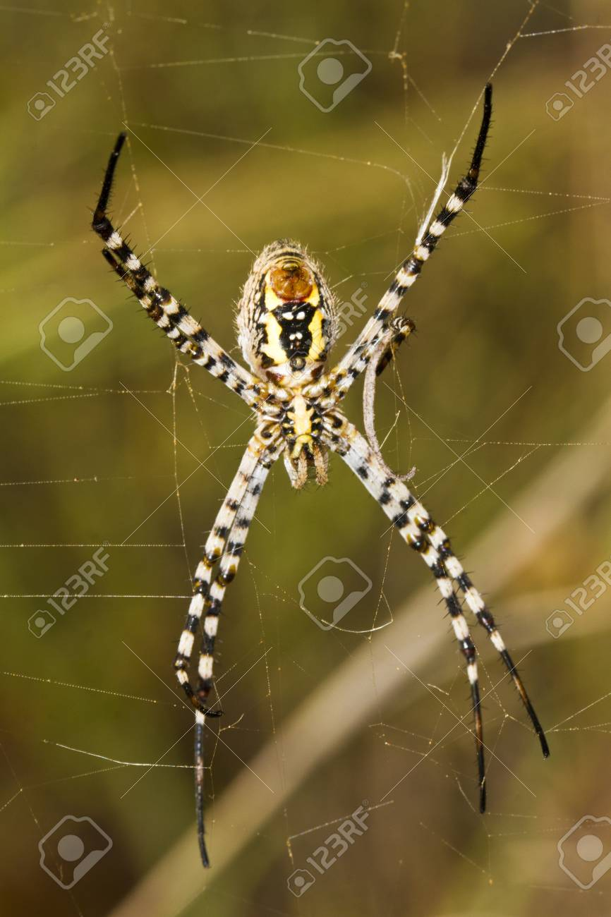 Close Up View Of The Beautiful Orb-weaving Spider (Argiope ...