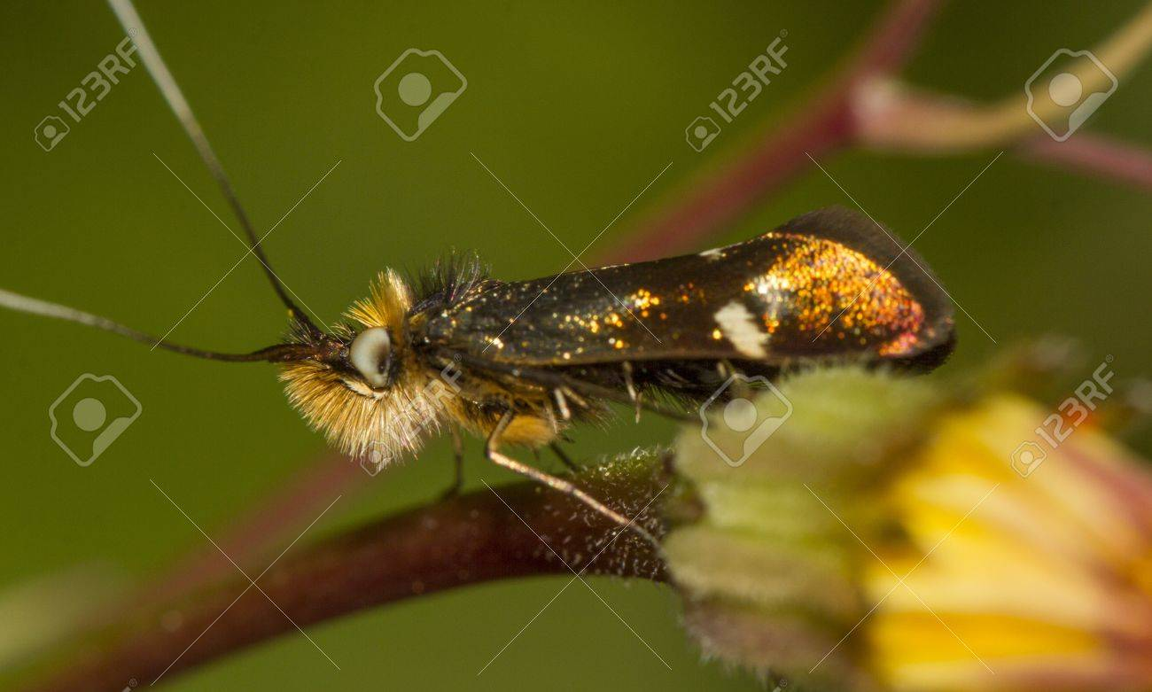 Close up view of an Adela collicolella nocturnal moth insect